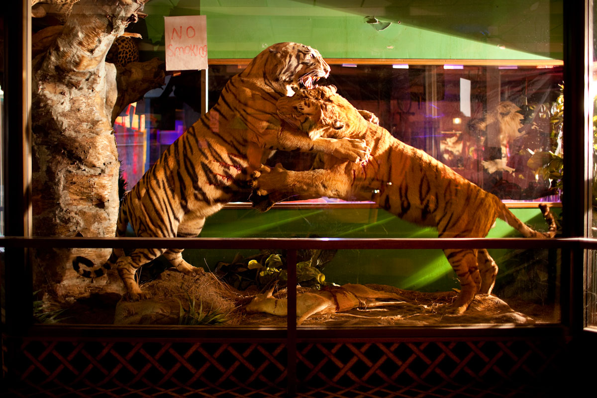 Taxidermy Tigers at The Safari Club - Estacada Oregon